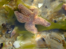 starfish in a tide pool at Cape Cod
