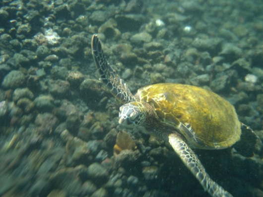 sea turtle in the champagne pools on the Big Island of Hawaii. he let me swim with him for quite some time