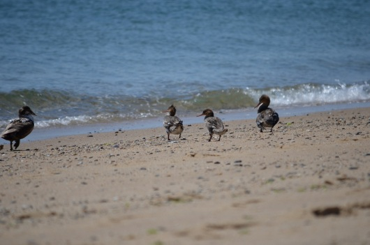 ocean duck 1