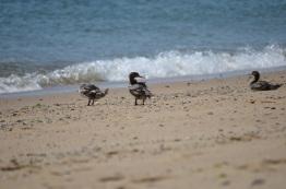 ocean duck 2