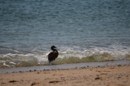 ocean duck getting out