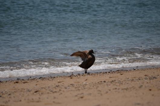 ocean duck shaking off