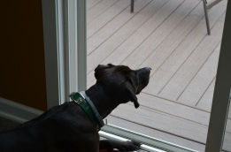Seneca likes to investigate the bugs on the screen door...