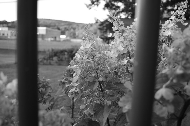 close up of the hydrangea through the deck railing