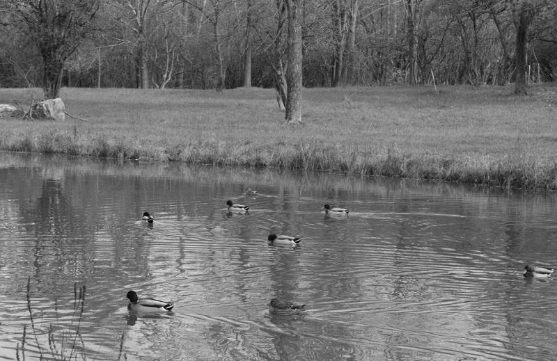 duck pond BW