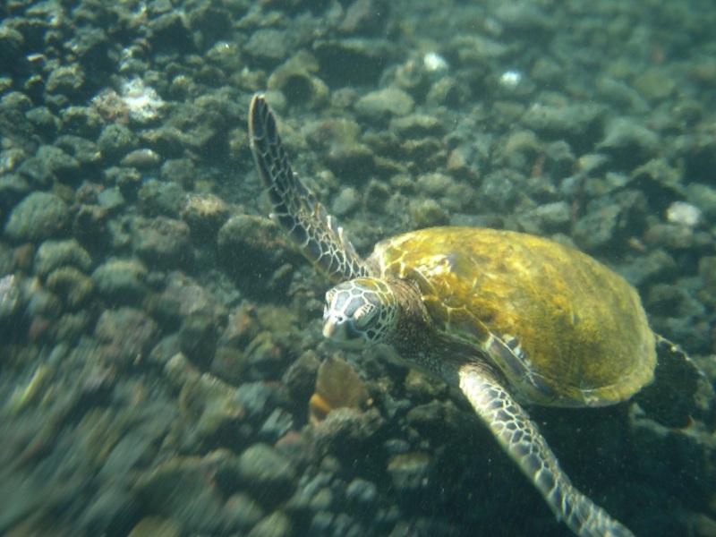 Sea turtle off the Big Island of Hawaii