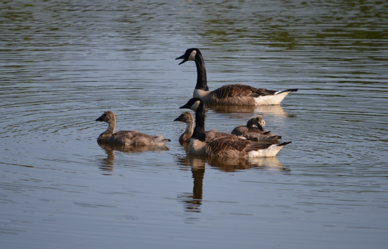 Geese on water 2