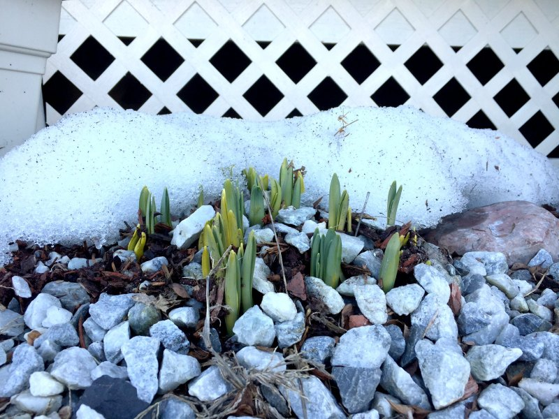 daffodils and snow