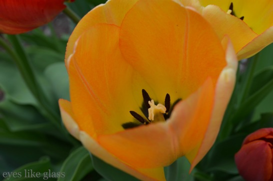 yellow with orange tulip