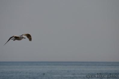 CC2015 gull1