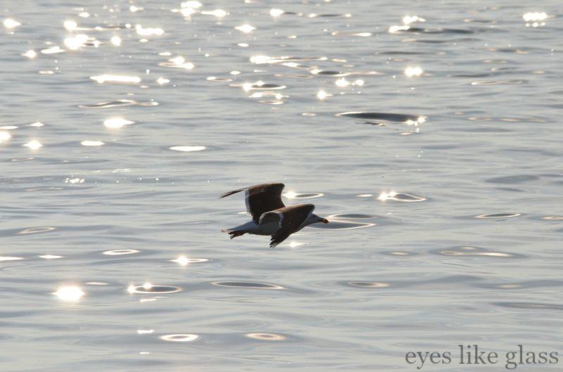 CC2015 gull2